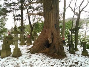 稲荷山巨木1_20160123r