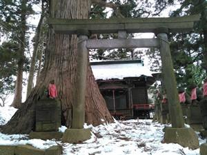 稲荷山巨木3_20160123r